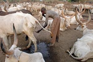 В Судане люди умываются коровьей мочой
