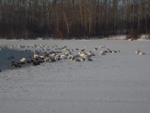 Лебединое озеро, Алтайский край
