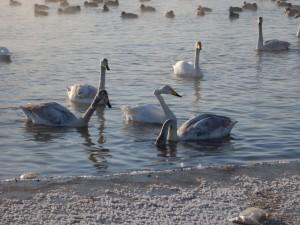 Почему лебедей нельзя кормить хлебом
