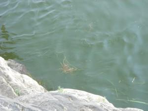 Рыба в воде. Томская писаница.