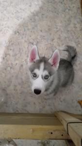 Серо-белый щенок хаски 2.5 мес