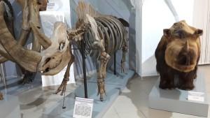 Макет шерстистого носорога и его скелет